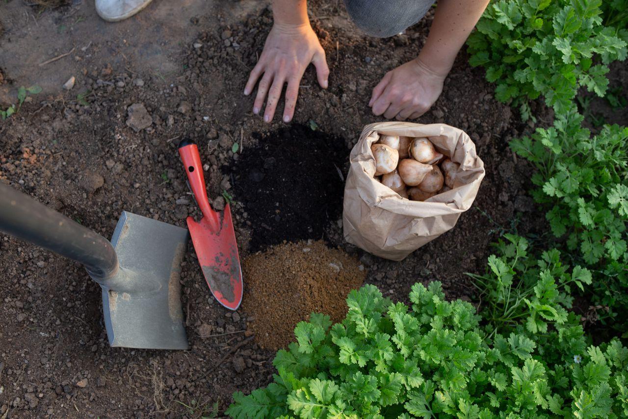 Co budeme potřebovat k sázení tulipánů — rýč, lopatku, kompost, písek a tulipány.