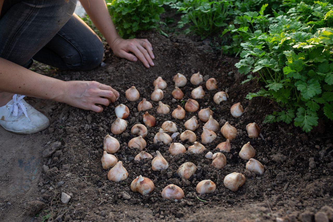 Sázení tulipánů.