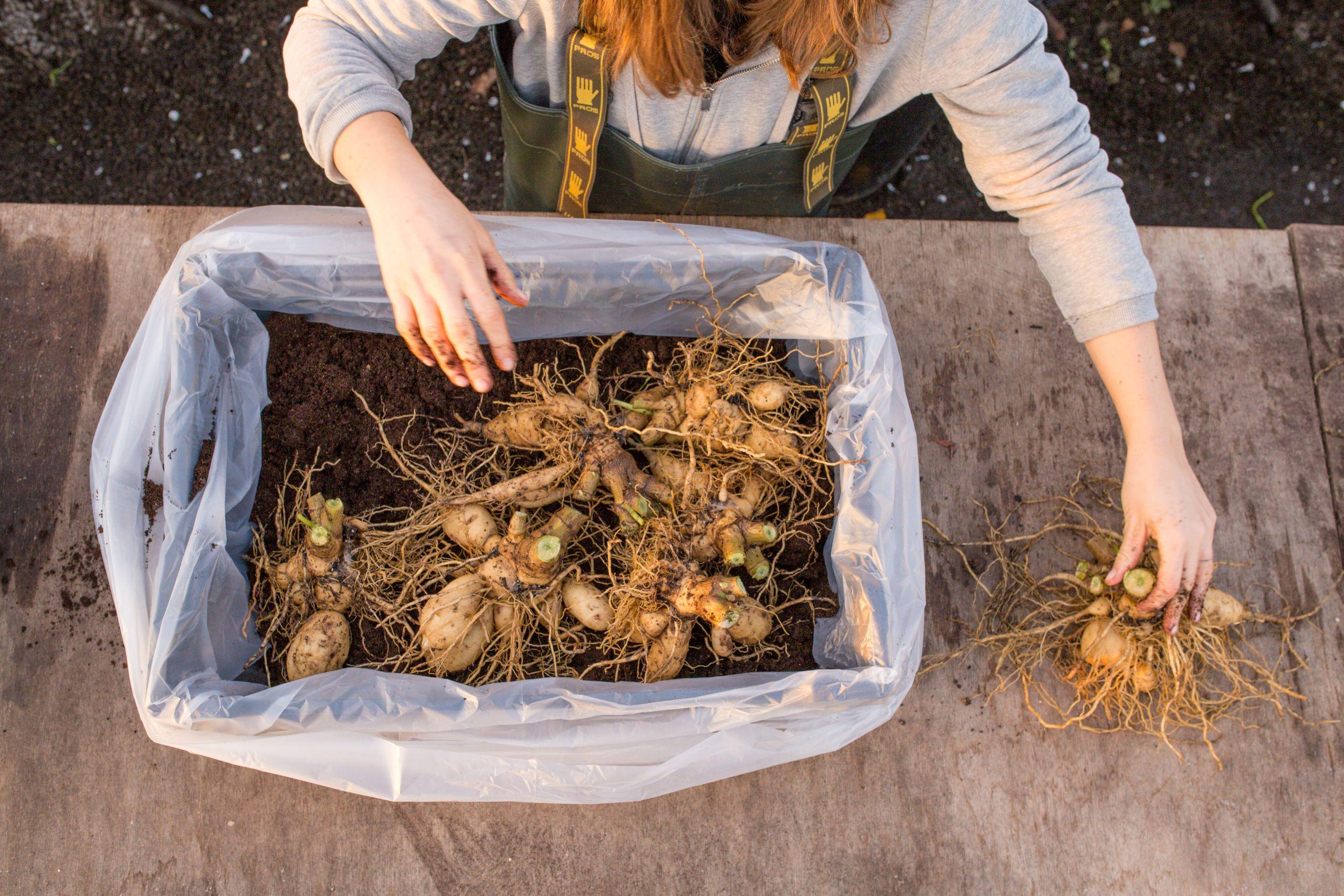 Návod na pěstování eukalyptu.
