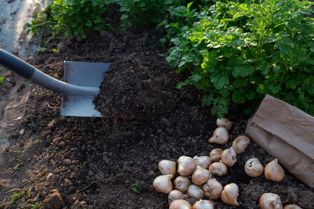 Vyhrabání díry na sázení tulipánů.