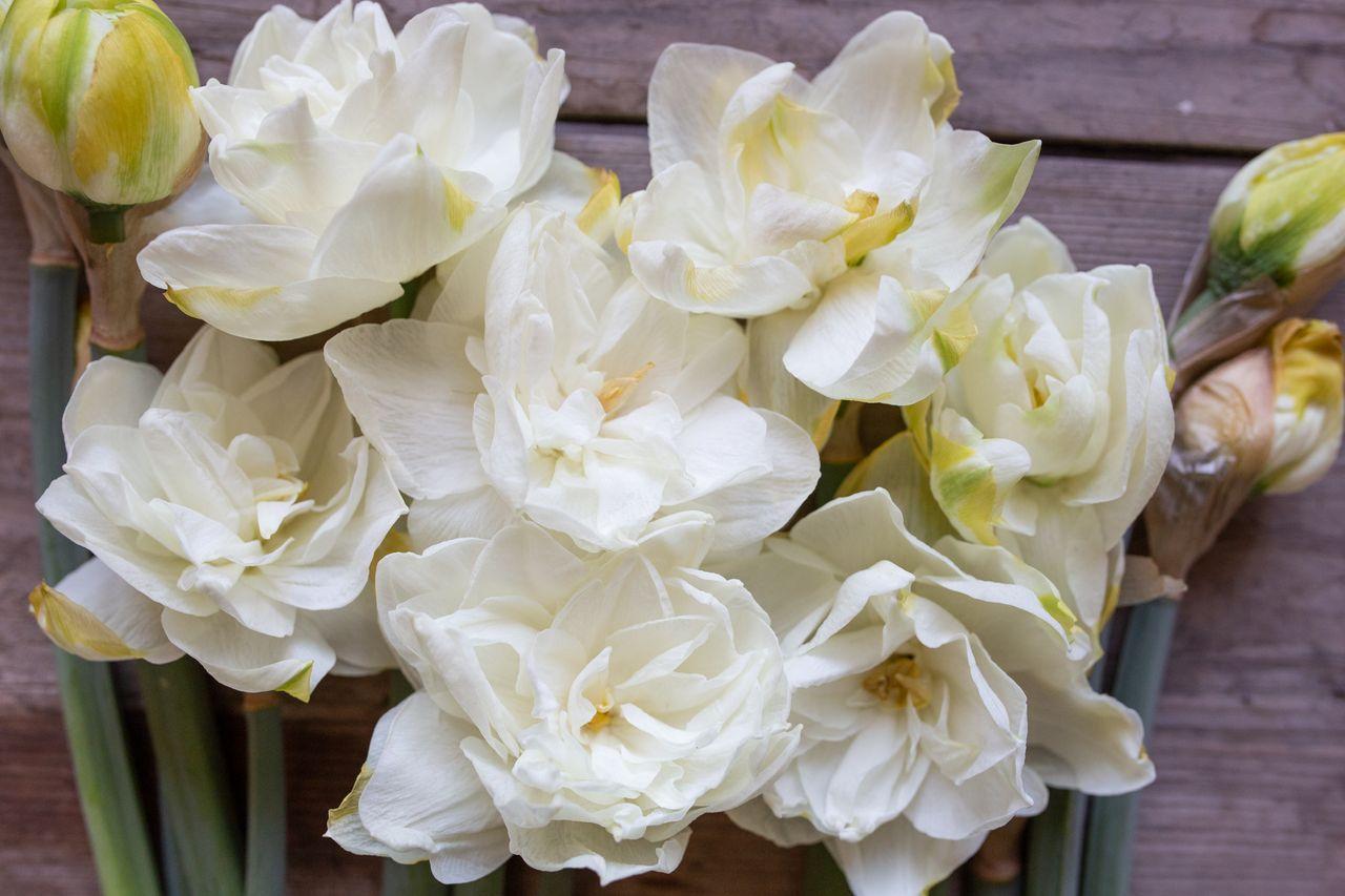 Narcis White Medal, Loukykvět