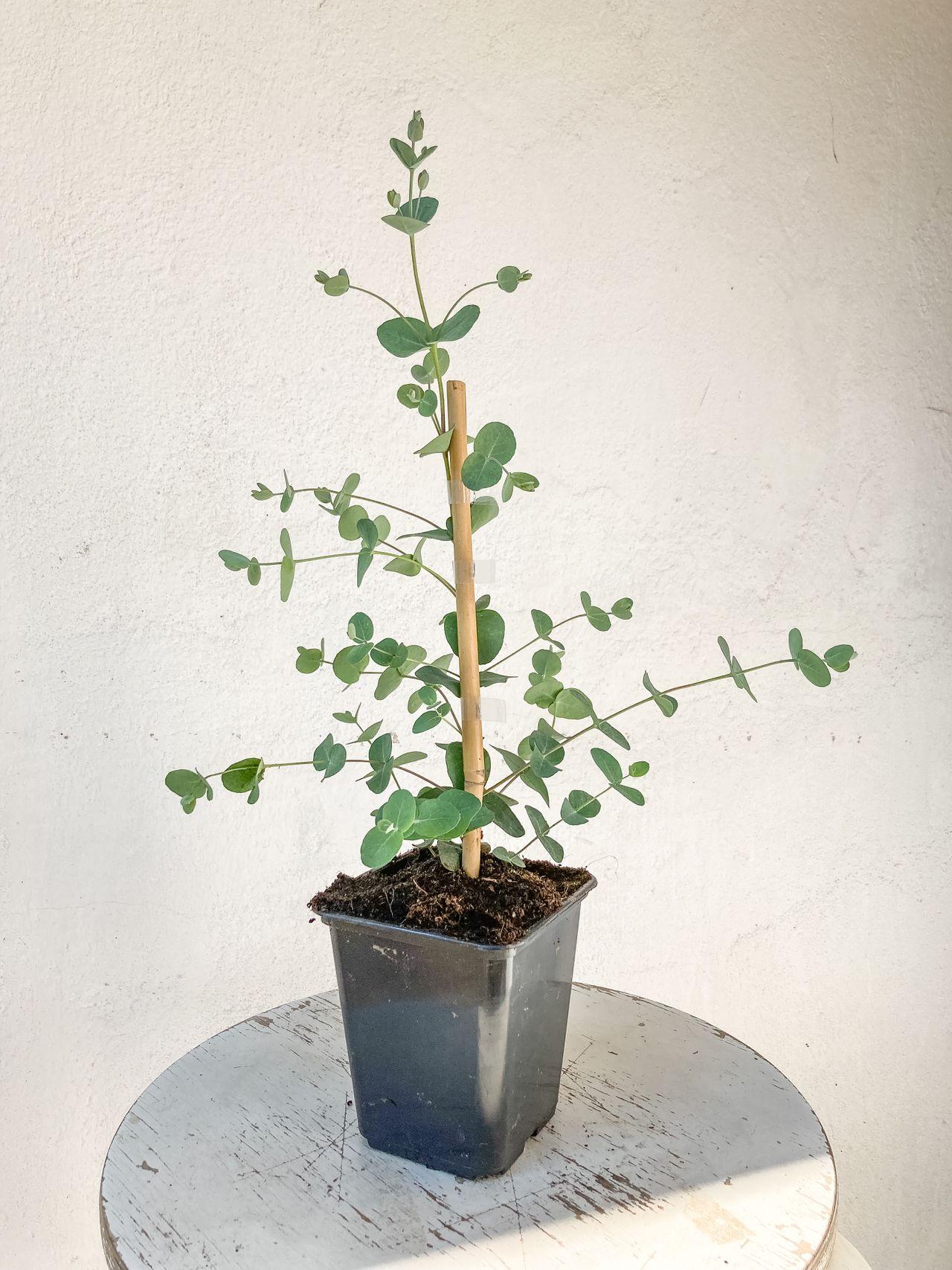 Eukalyptus Silver Drop, Loukykvět
