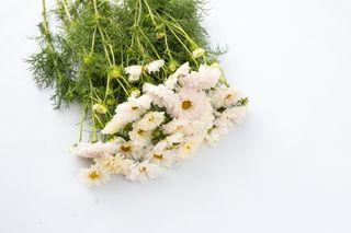Krásenka Double Click ′Snow Puff′, Loukykvět