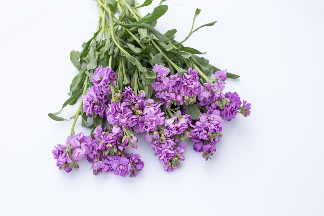 Fiala Katz Light Lavender, Loukykvět
