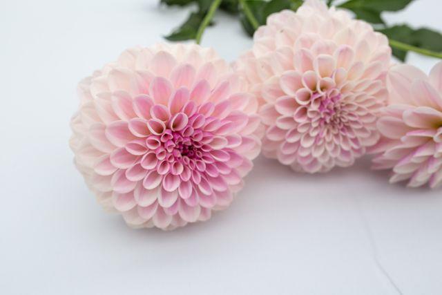 Jiřina Pink Silk