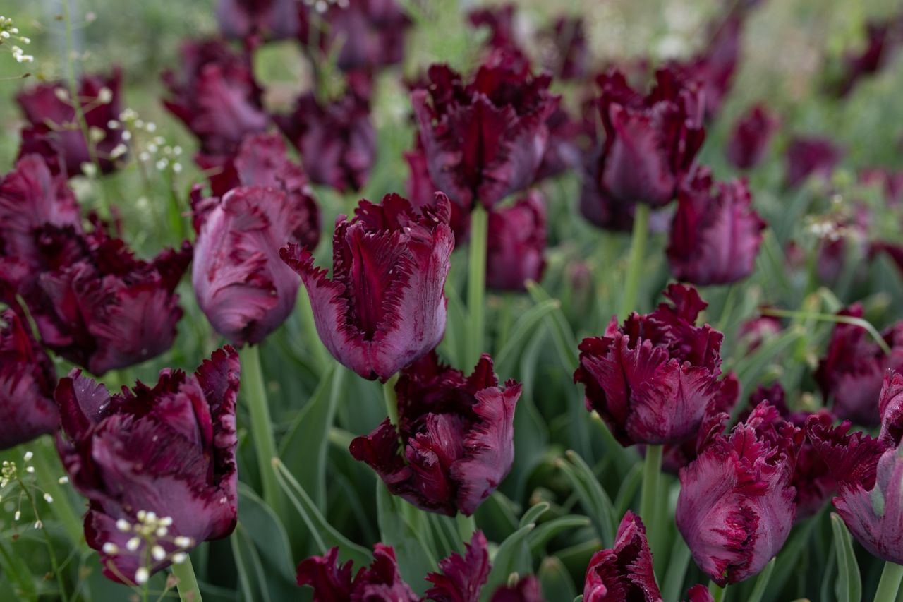 Tulipán Black Parrot, Loukykvět