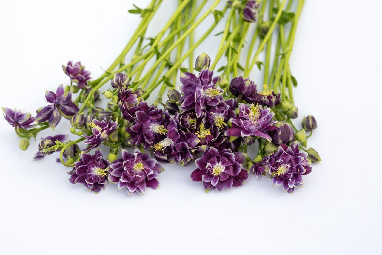 Orlíček Purple Barlow, Loukykvět