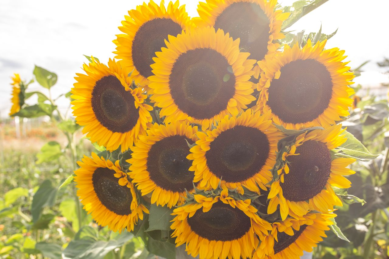Slunečnice Sunbright, Loukykvět