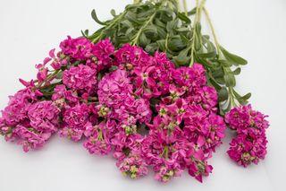 Fiala Katz Rose Bright, Loukykvět