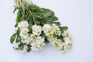 Fiala Iron White, Loukykvět