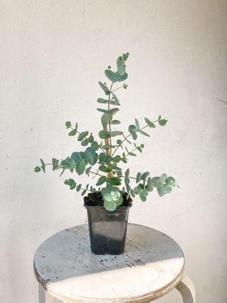Eukalyptus Silver Dollar, Loukykvět