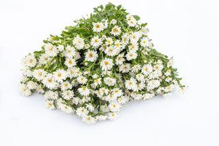 Astra Serenade White, Loukykvět