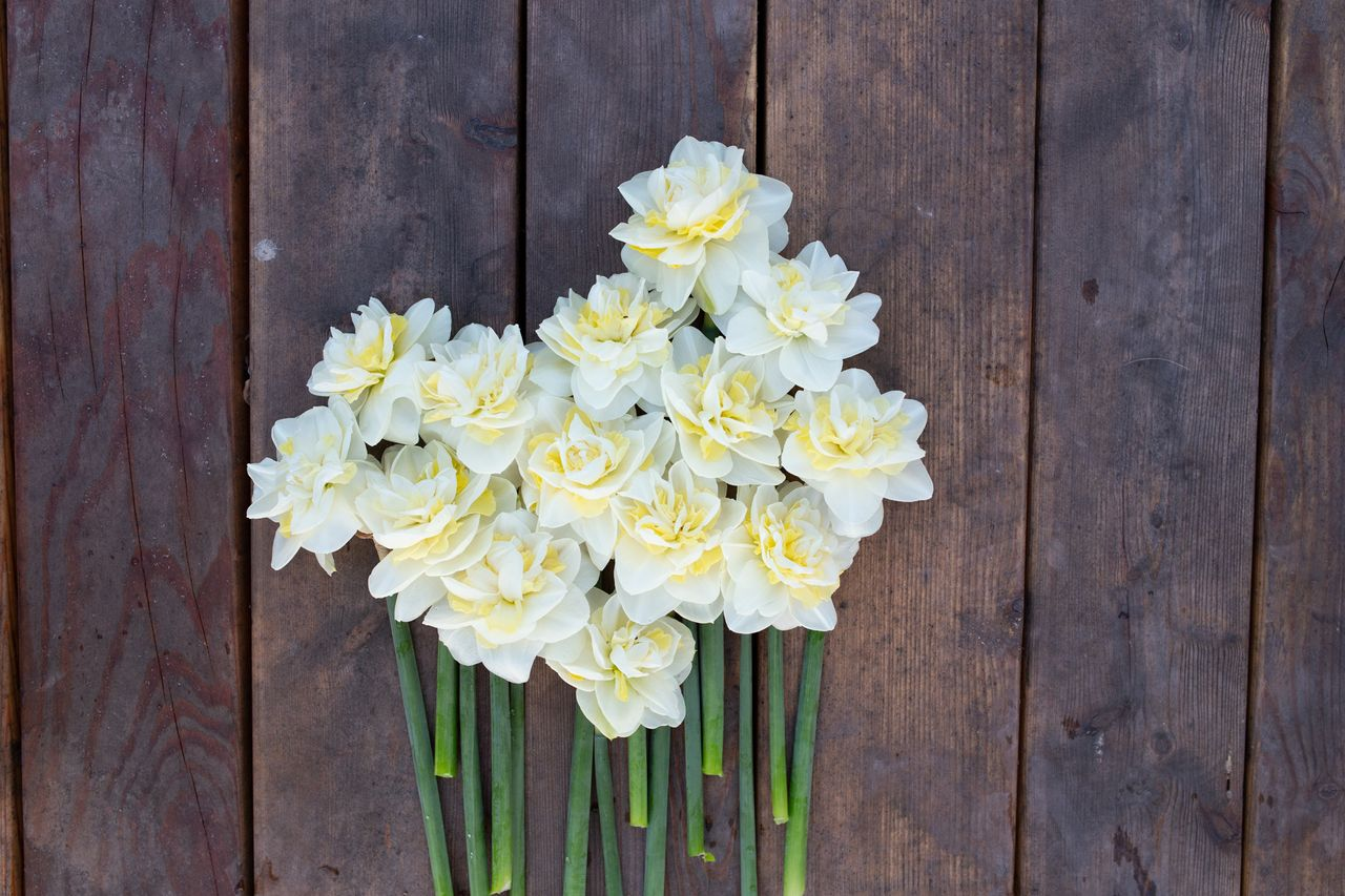 Narcis Easter Born, Loukykvět