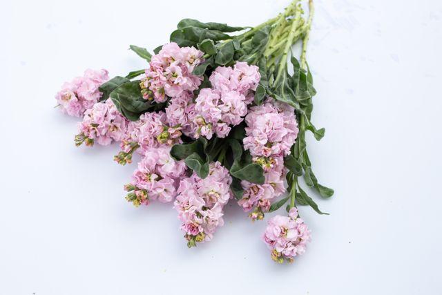 Fiala Iron Cherry Blossom
