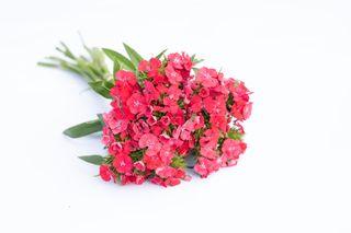 Hvozdík Sweet Coral, Loukykvět