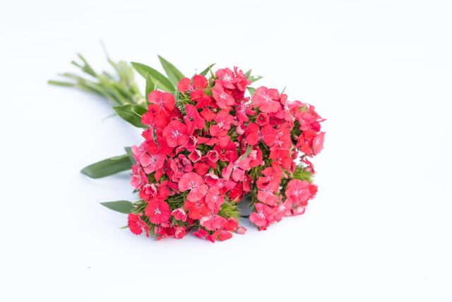 Hvozdík Sweet Coral