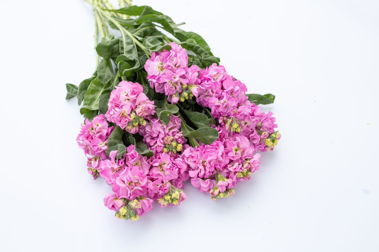 Fiala Iron Pink, Loukykvět