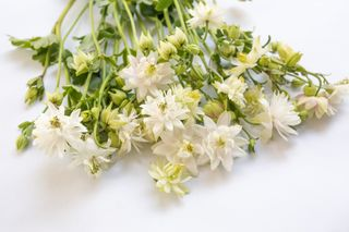 Orlíček White Barlow, Loukykvět