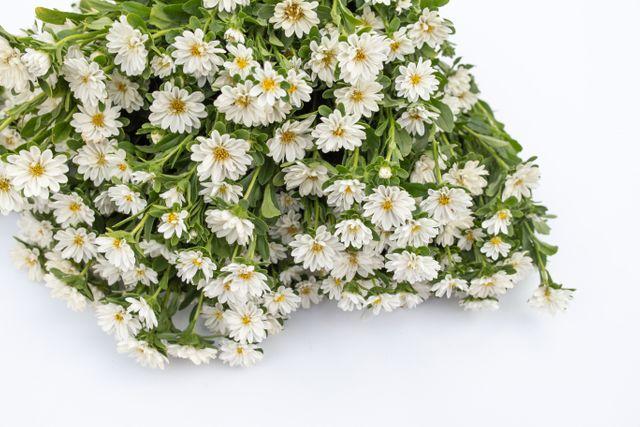 Astra 'Serenade White'