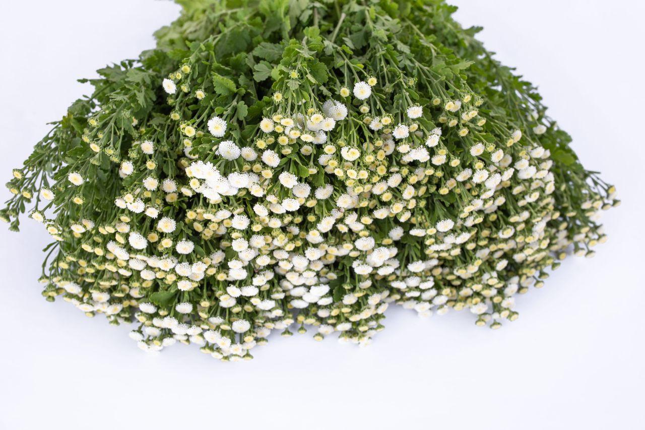 Řimbaba Crown White, Loukykvět