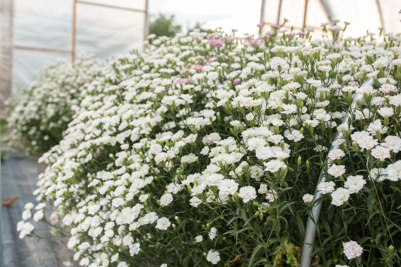 Hvozdík Dynasty ′White Blush′, Loukykvět