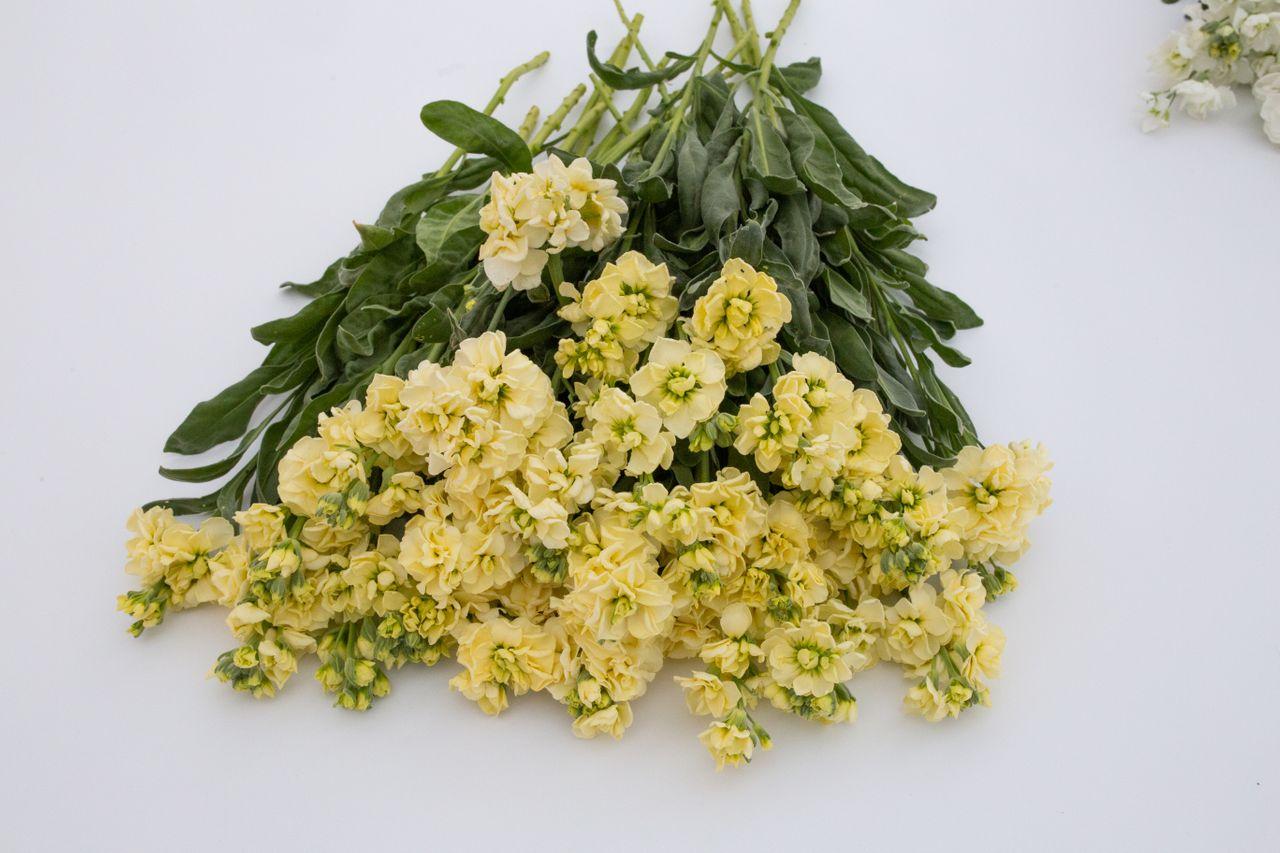 Fiala Katz Yellow, Loukykvět