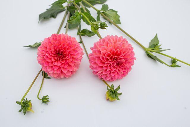Jiřina Pink Runner