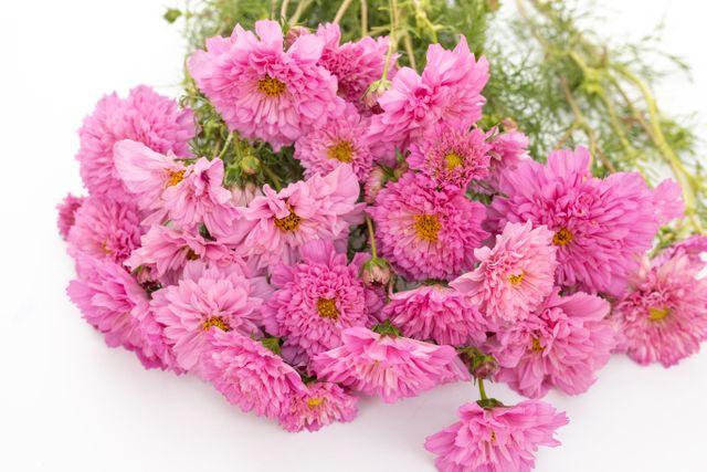 Krásenka Double Click ′Rose BonBon′