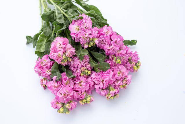 Fiala Iron Pink