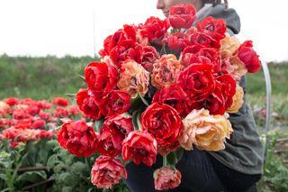 Tulipán Gudoshnik Double, Loukykvět