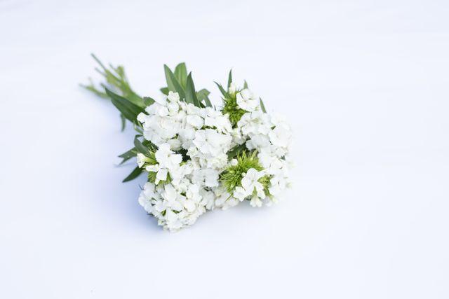 Hvozdík Sweet White