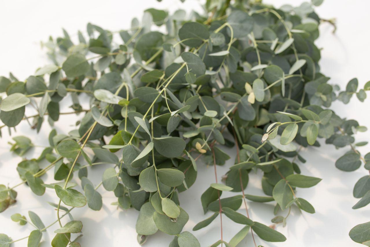 Eukalyptus ′Silver Drop′, Loukykvět