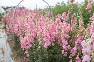 OstrožkaQIS Light Pink, Loukykvět
