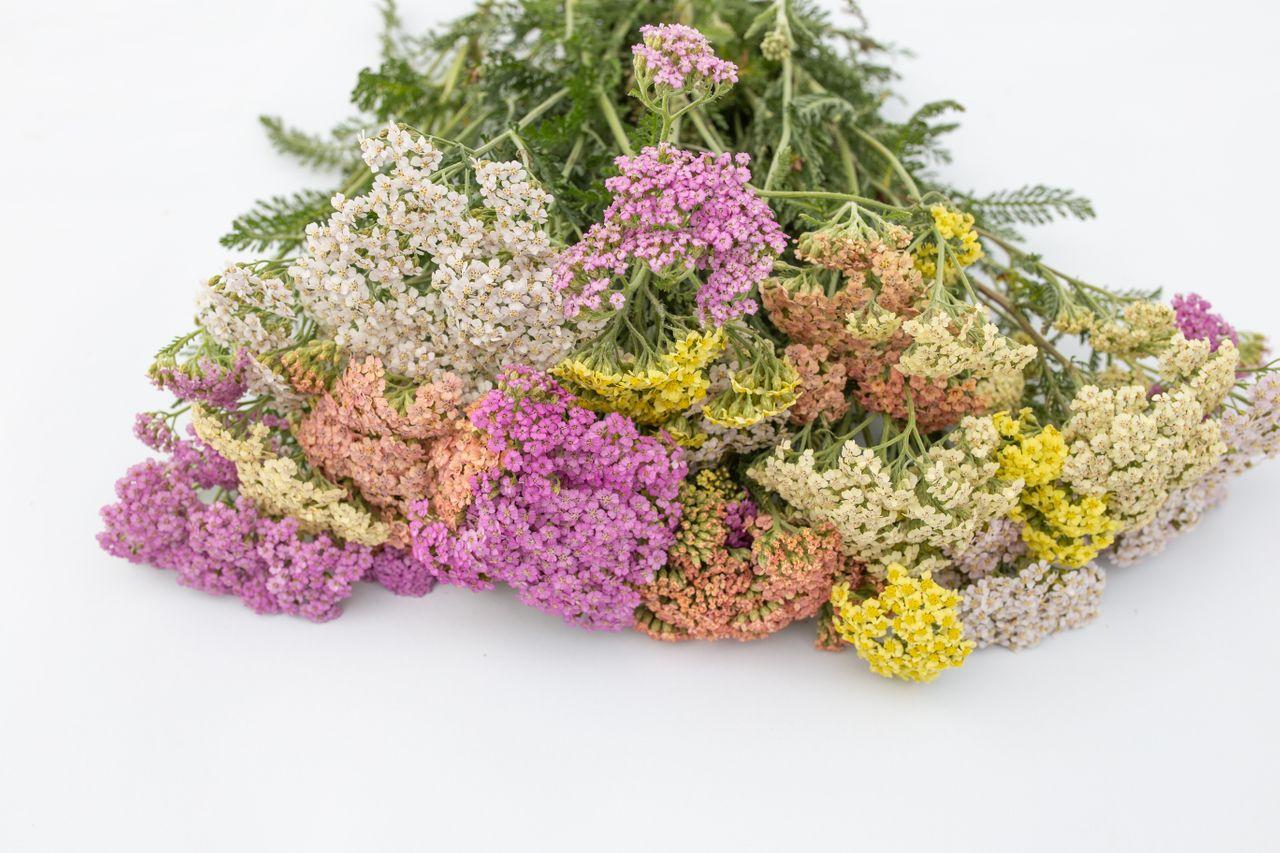 Řebříček ′Summer Pastels′, Loukykvět