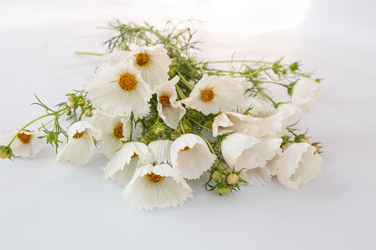 Krásenka ′Cupcakes White′, Loukykvět