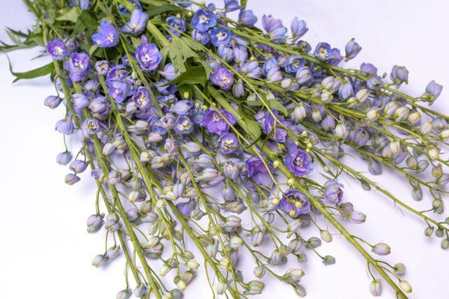 Stračka vyvýšená Guardian Lavender