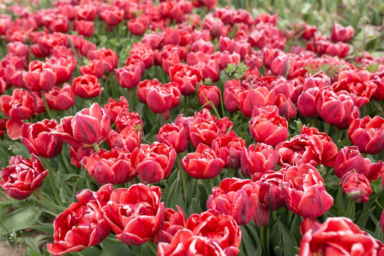 Tulipán Cabella, Loukykvět