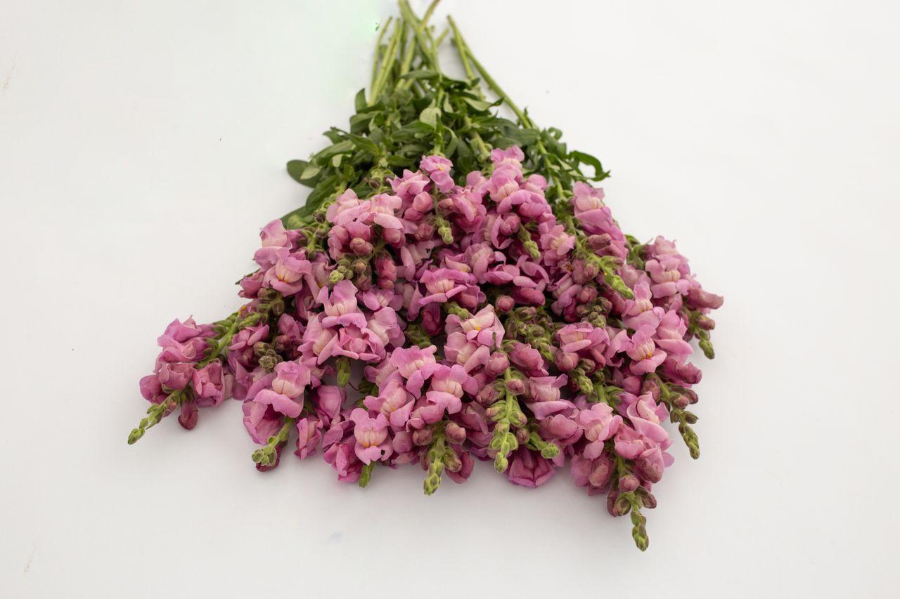 Hledík Potomac Lavender, Loukykvět