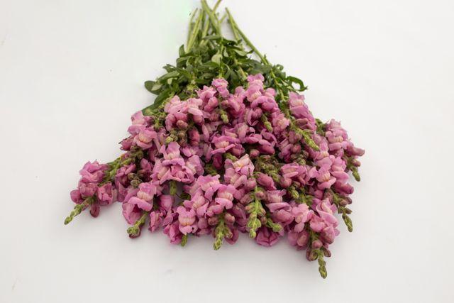 Hledík Potomac Lavender