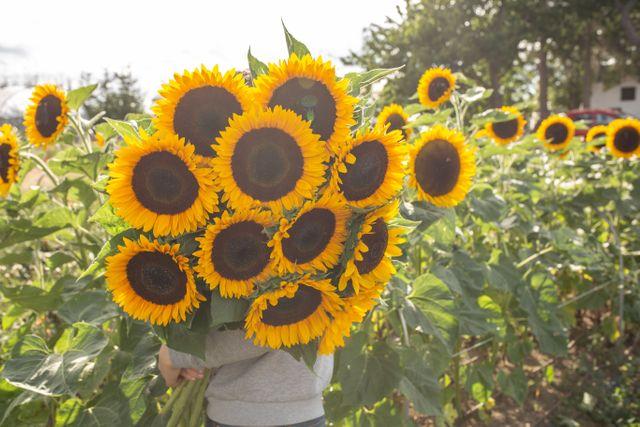 Slunečnice Sunbright