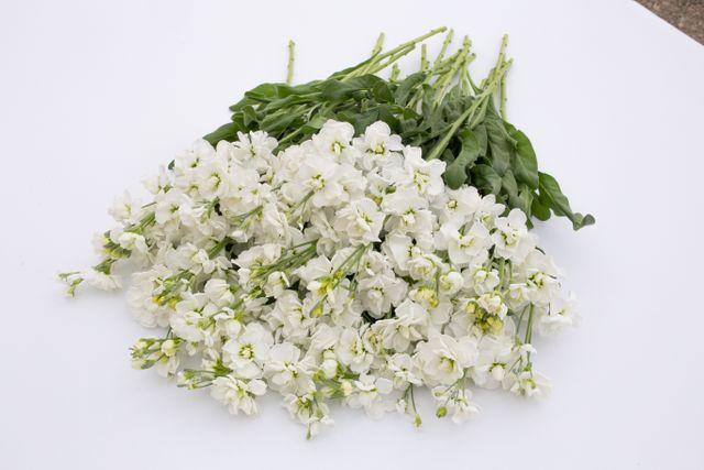 Fiala Cheerful White
