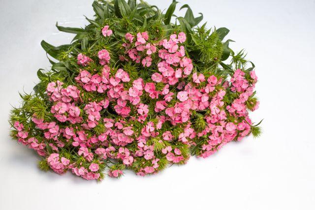 Hvozdík bradatý Sweet Pink