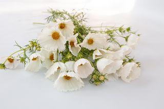Krásenka Cupcakes White, Loukykvět