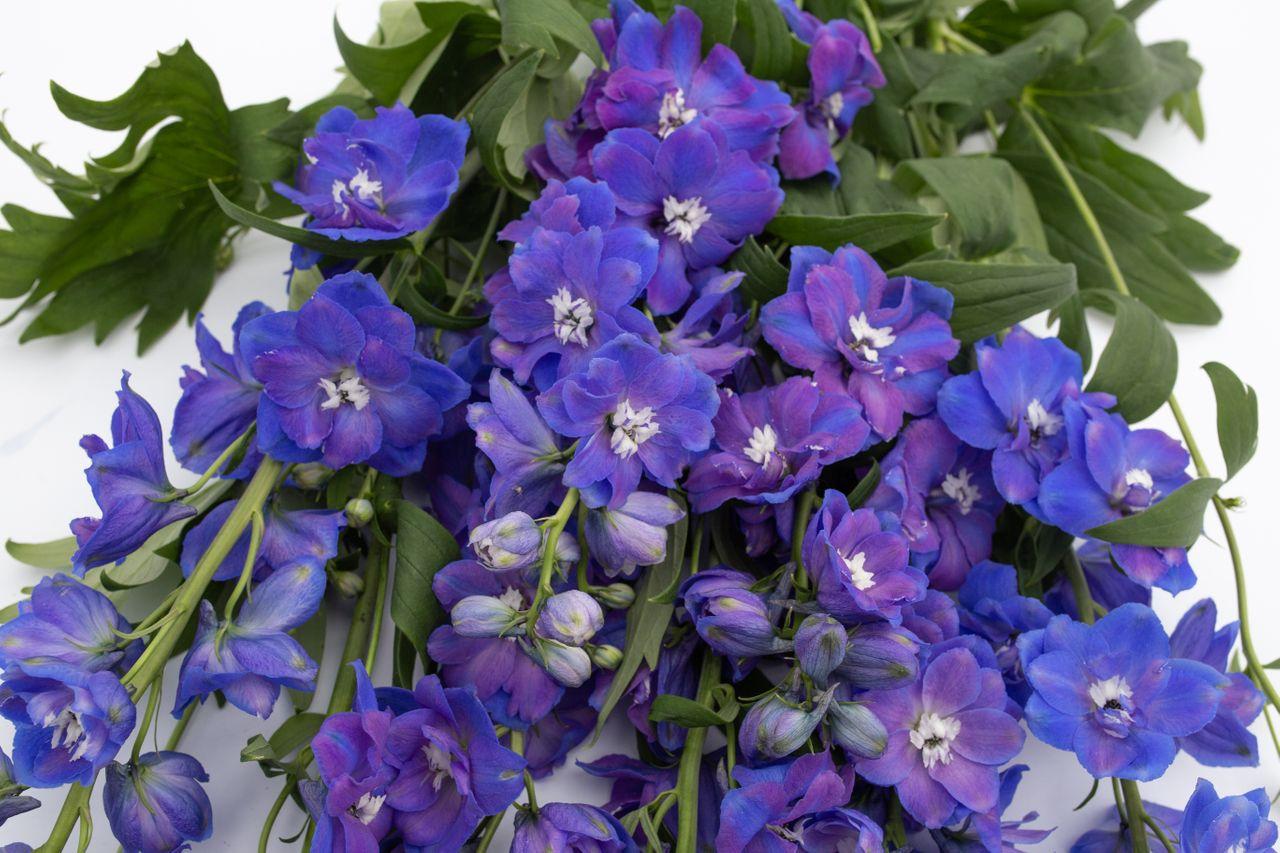 Ostrožka Guardian Blue, Loukykvět