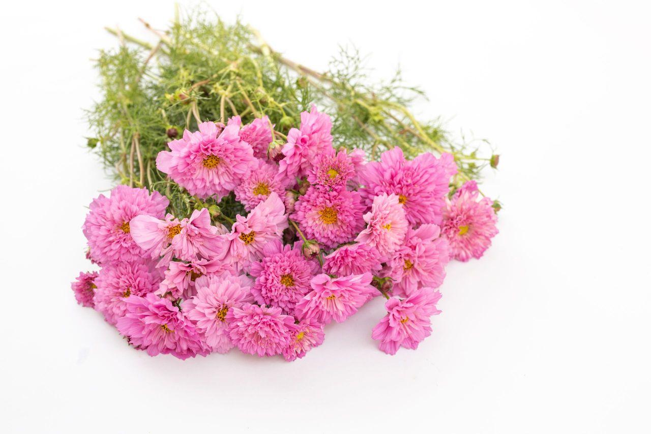 Krásenka Double Click 'Rose Bonbon', Loukykvět