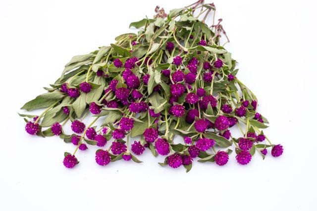 Pestrovka kulovitá QIS Lilac