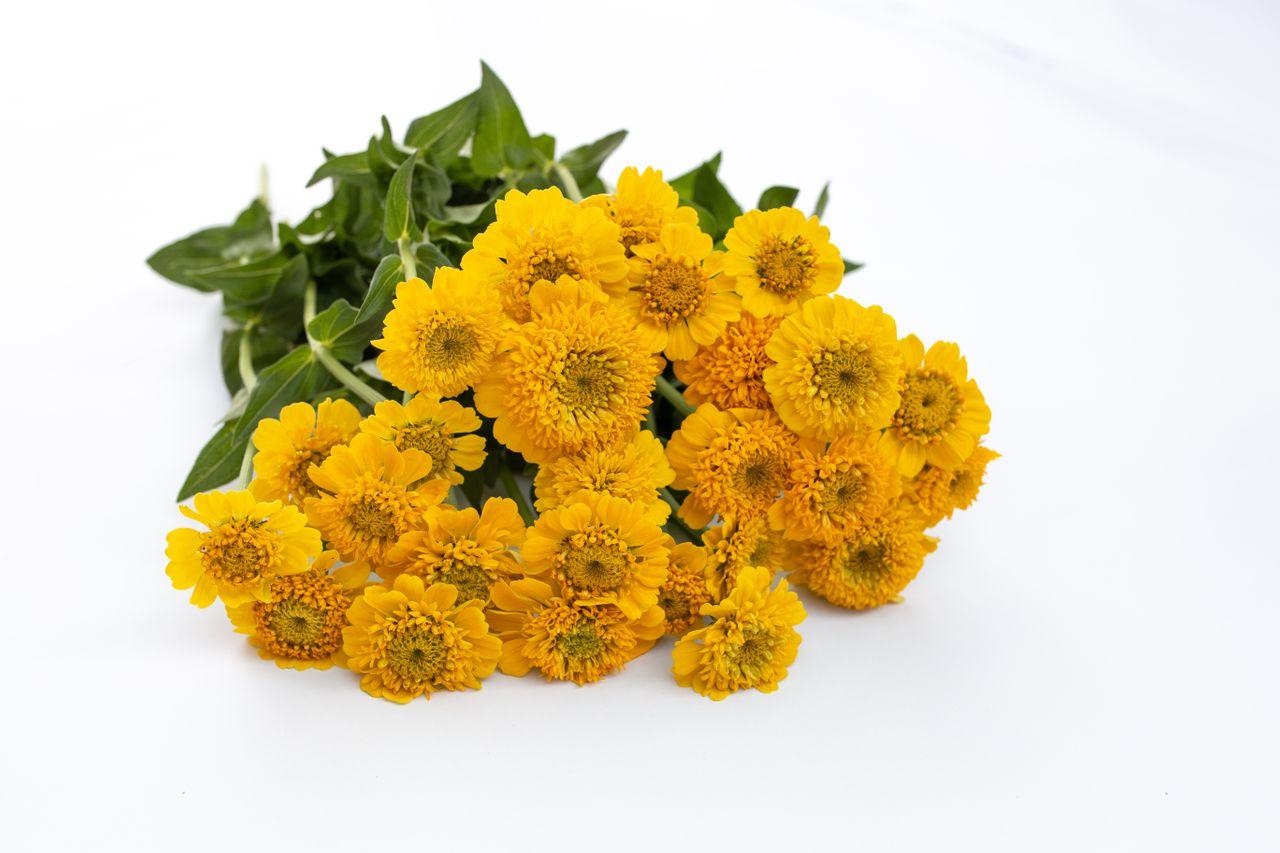 Cínie Cupcakes Yellow, Loukykvět