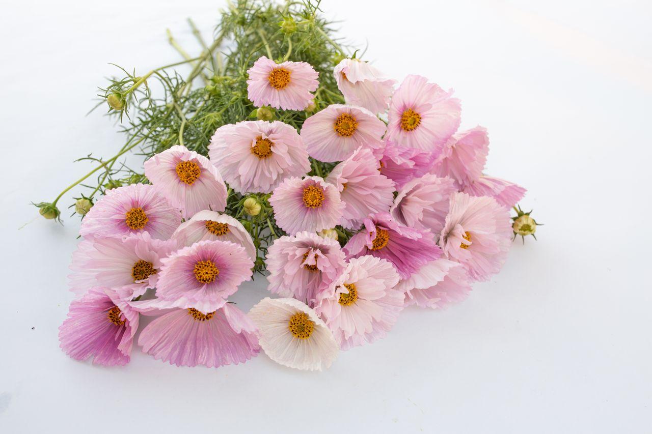 Krásenka Cupcakes Blush, Loukykvět