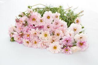 Krásenka Double Click ′Bicolor Pink′, Loukykvět