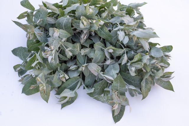 Eukalyptus Blue Gum
